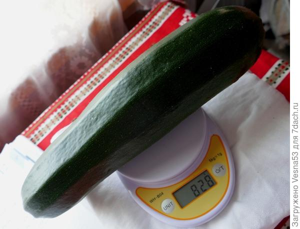 Взвешивание первого плода кабачка цуккини Генерал.