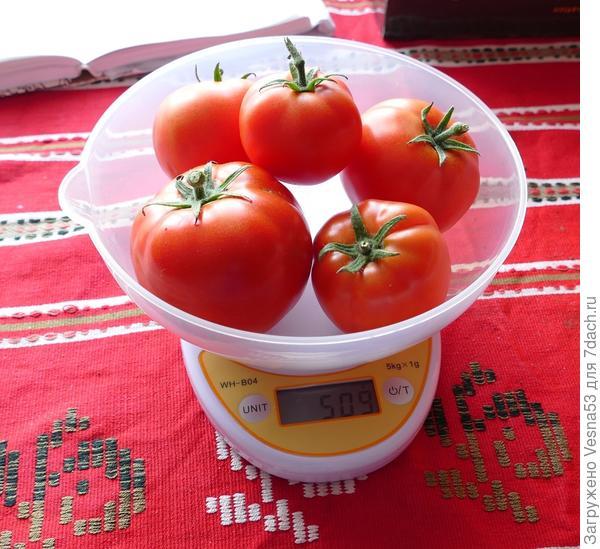 12 июля. Собранные плоды томата 100% F1 на весах.