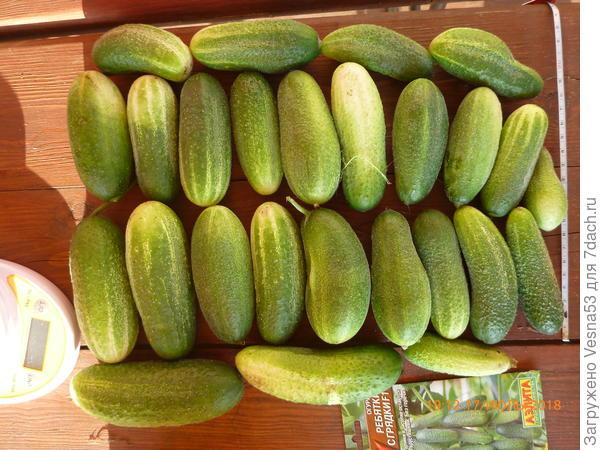 Третий сбор плодов, всего 26 штук с 8 кустов.