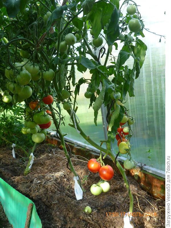 Томат 100% F1. Спелые плоды на кустах.
