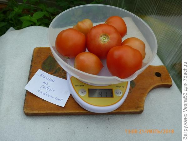 томат Мишка на Севере F1. Плоды на весах.