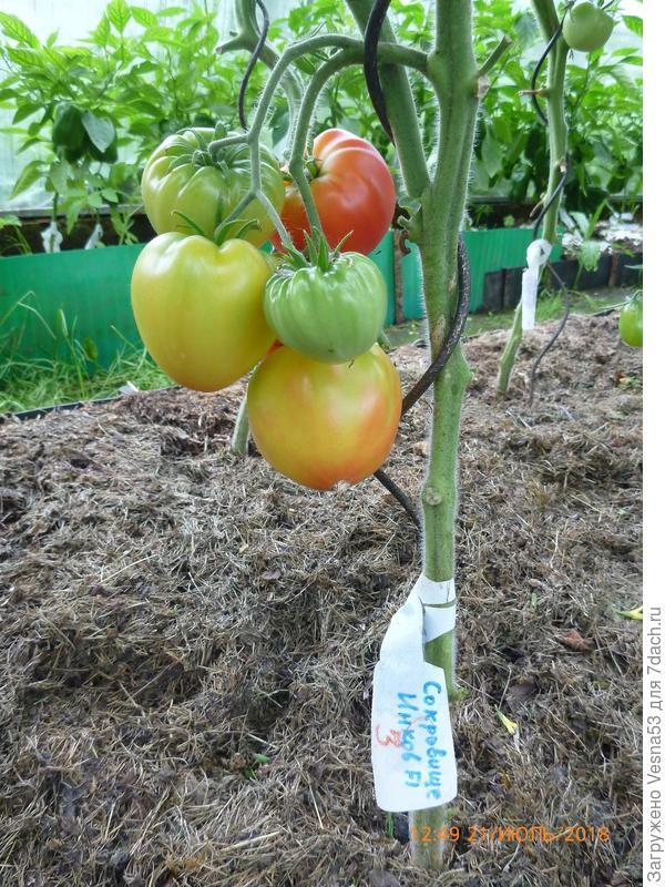 Томат Сокровище Инков F1, куст №3, поспевшие плоды на кусте.