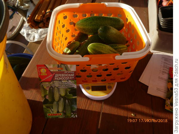 Второй сбор плодов на весах.
