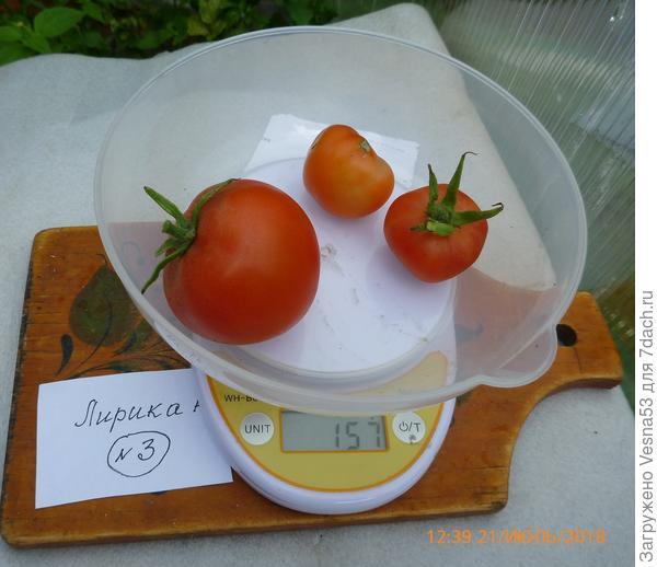 Томат Лирика F1, куст №3, плоды на весах.