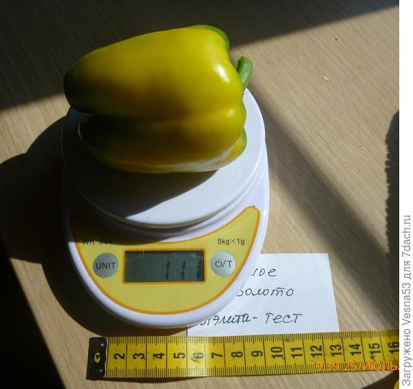 Перец сладкий Большое Золото, первый спелый плод на весах.