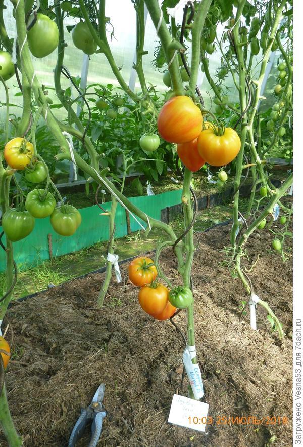 Сокровище Инков F1, куст №3, 25 июля, сейчас буду снимать урожай.