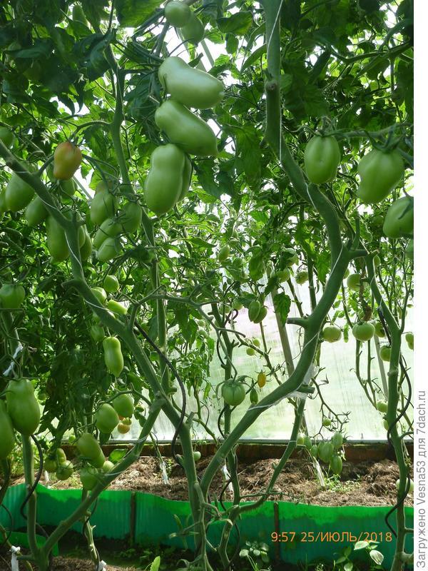 Куст №1 после снятия плодов 25 июля.