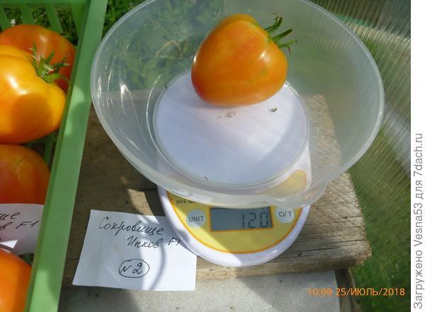 Куст №2, снятый плод на весах.