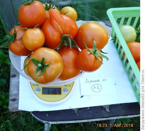 Куст №1, первая часть снятых плодов на весах.