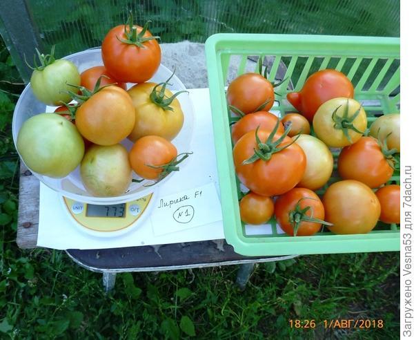 Куст №1, вторая часть снятых плодов на весах.
