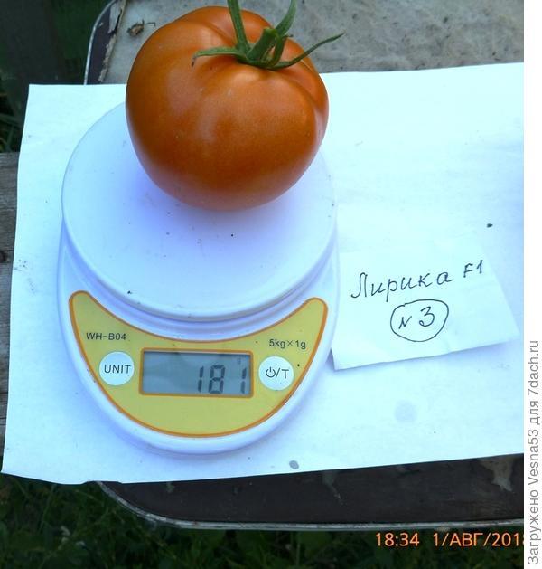 Лирика F1. Самый крупный плод из сбора за 1 августа.