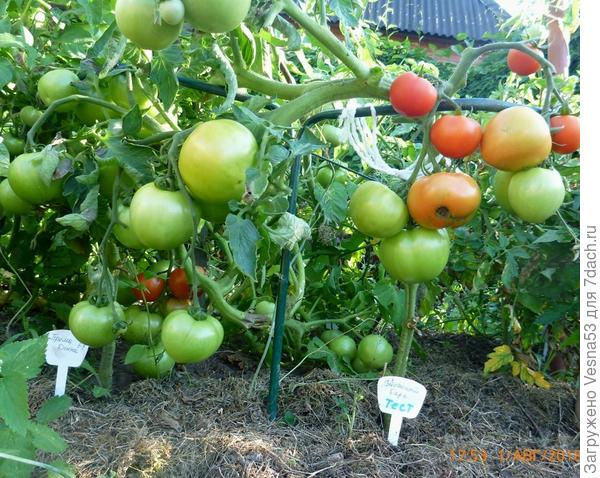 1 августа. Томат Снежный барс, куст с покрасневшими плодами.