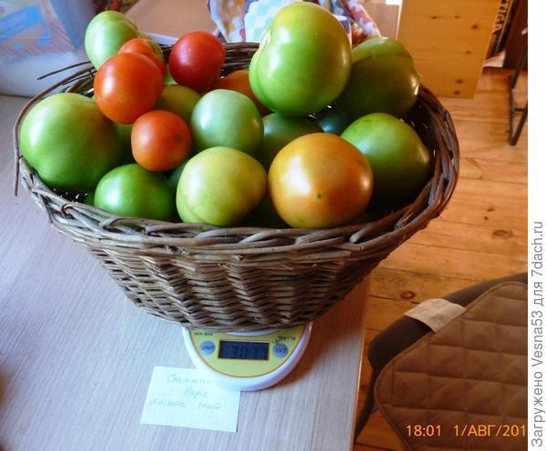 Томат Снежный барс. Снятые 1 августа плоды на весах.