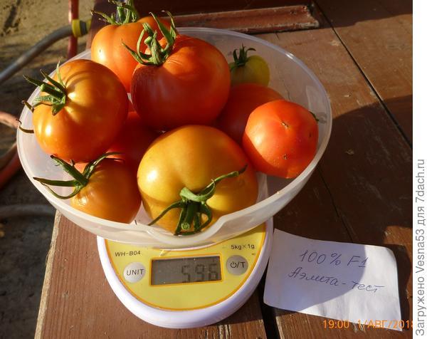 1 августа. Томат 100% F1. Собранные плоды на весах.