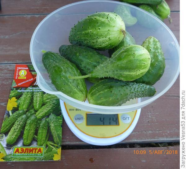 Плоды сбора 5 августа на весах.