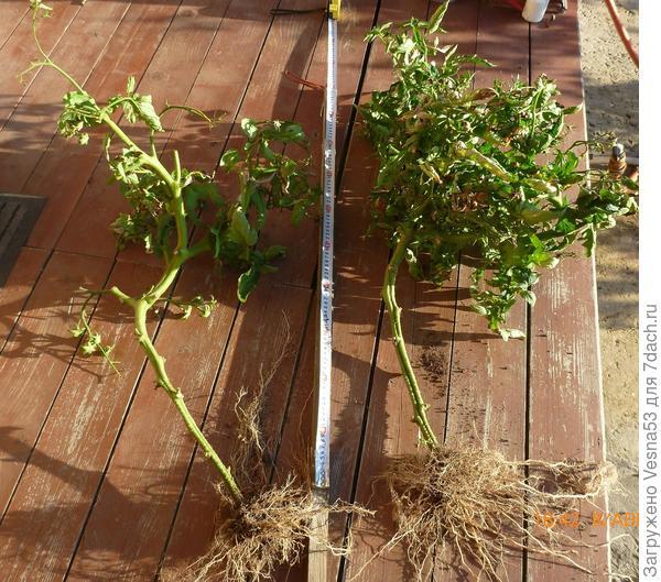 Кусты томата Снежный барс после завершения плодоношения. 8 августа.