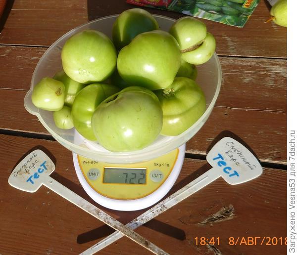 Томат Снежный барс, сбор плодов 8 августа на весах.