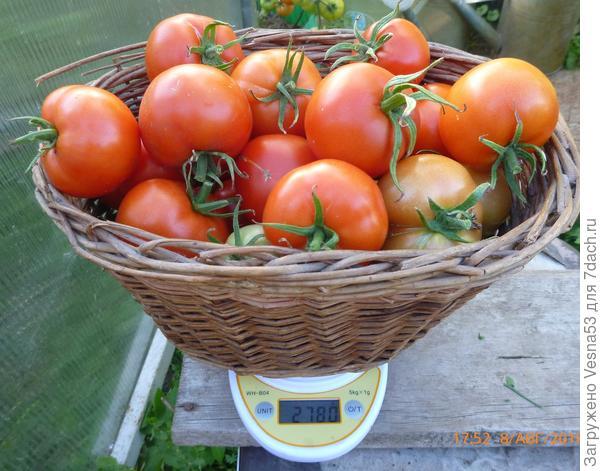 Томат Лирика F1, все собранные 8 августа плоды с трёх кустов на весах.