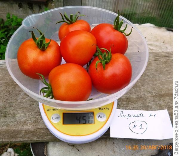 Лирика F1, куст №1, плоды на весах.