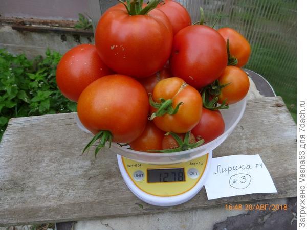 Лирика F1, куст №3, плоды сбора 20 августа на весах.