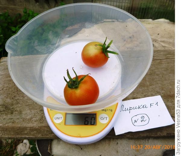 Лирика F1, куст №2, плоды на весах, 20 августа.