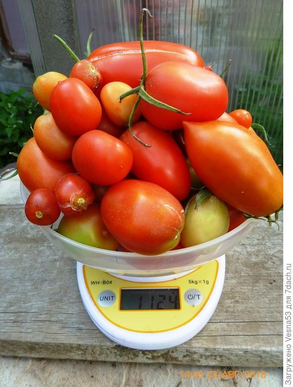 Плоды с трёх кустов на весах, 23 августа