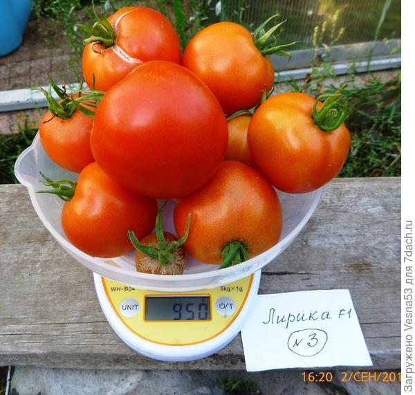 Томат Лирика F1, куст №3, плоды на весах 2 сентября.