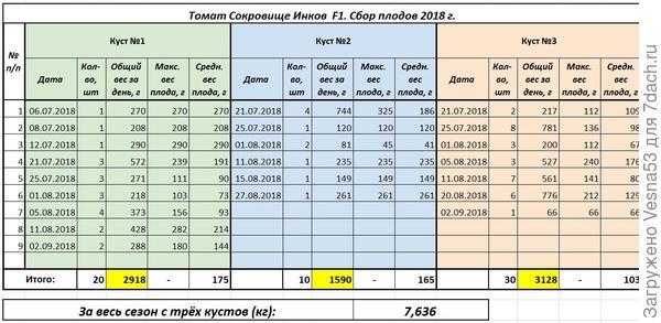 Томат Сокровище Инков F1, плодоношение по состоянию на 2 сентября.