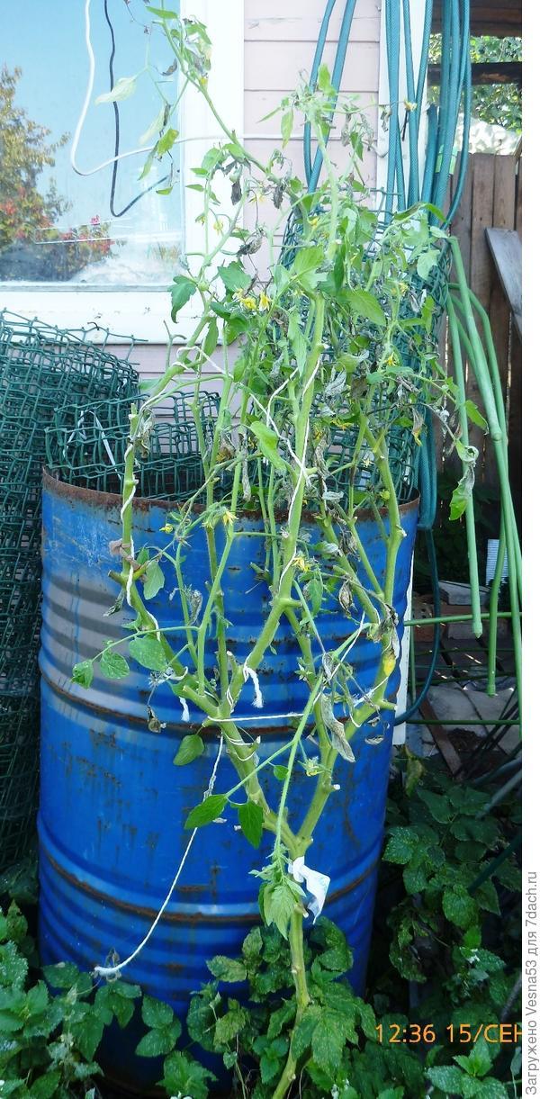 Томат Лирика F1, куст №1, завершение плодоношения и вегетации.