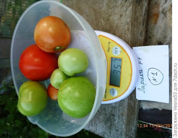 Томат Лирика F1, куст №1, плоды на весах.