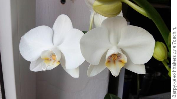 Мамина орхидея