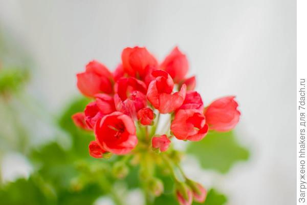 Пеларгонии душистые и тюльпановидные