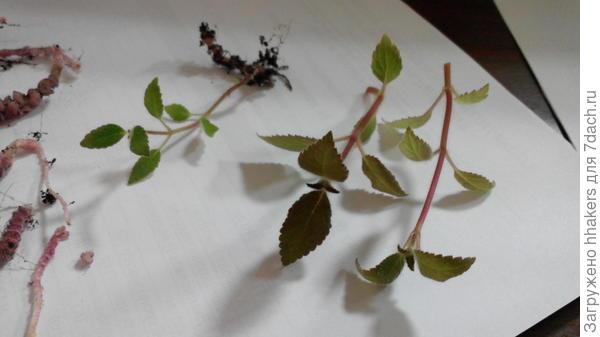 Обрезанные ростки