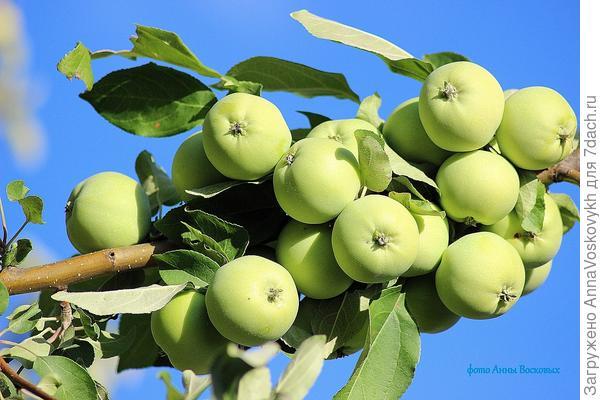 Вот такими яблочками радует старая грушовка.