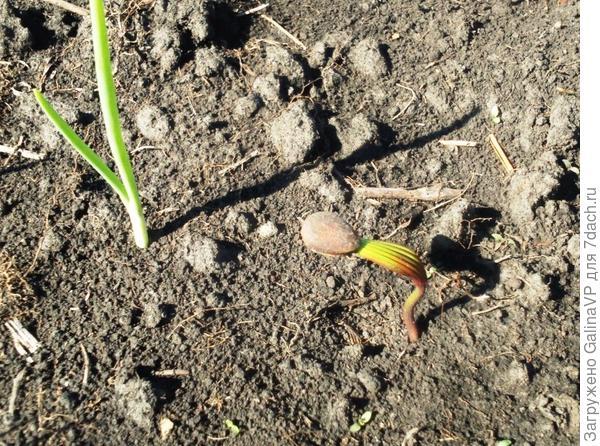 На луковой грядке пророс кедр,думали попозже пересадить в другое место,но заморозки ему не оставили шансов((
