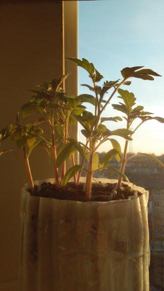 томатам было тесно, пришлось пересаживать,делать более толстые улитки добавляя землю,было не удобно, вся конструкция начинает разваливаться