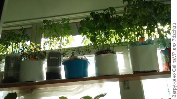 Это,пожалуй,единственное,что более-менее было удобно,томаты нормально перенесли пересадку в грунт, не болели, удобно переставлять с места на место и транспортировать на дачу