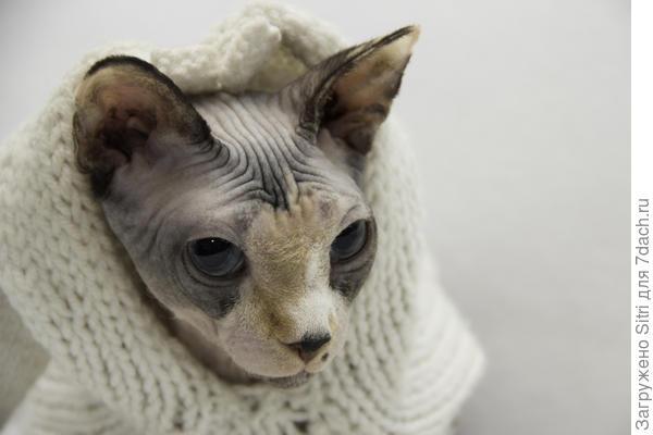 Для бесшерстных кошек одежда — не хозяйский каприз, а необходимость