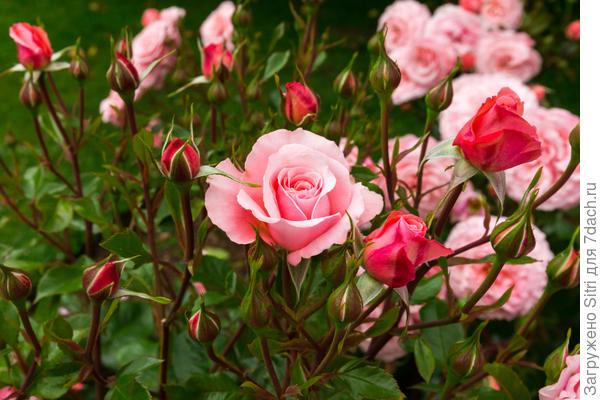 Розы --- великолепное украшение для любого сада или цветника