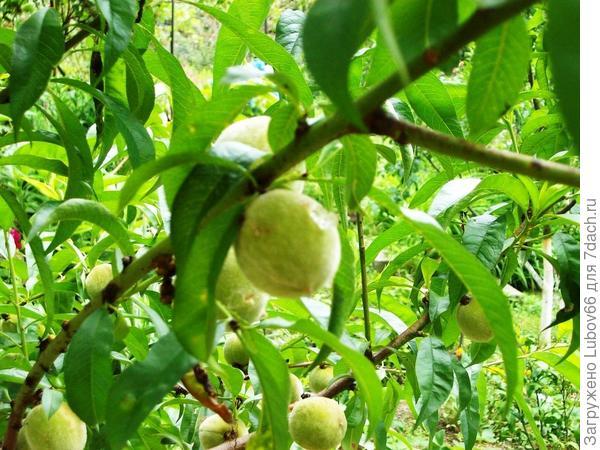 почти все персики стали такие