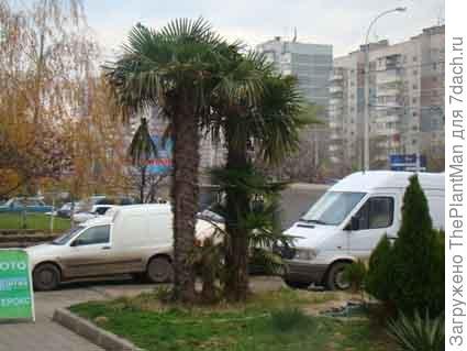 Трахикарпус Форчуна. фото с ресурса http://forum.gardener.ru