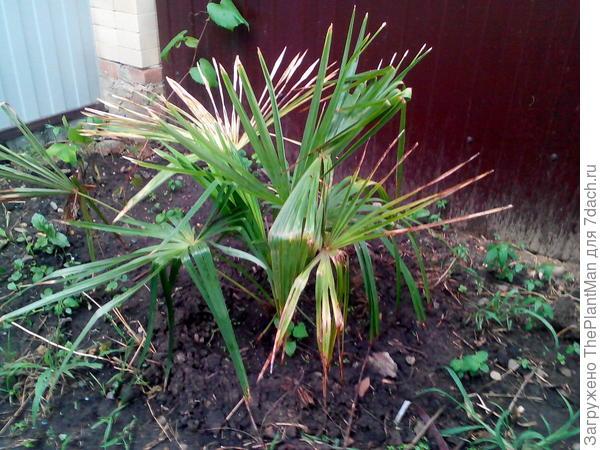 состояние у пальмы на троечку