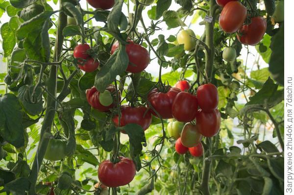 Спеют томаты гибрида Гордость застолья F1. 24.08.2017.