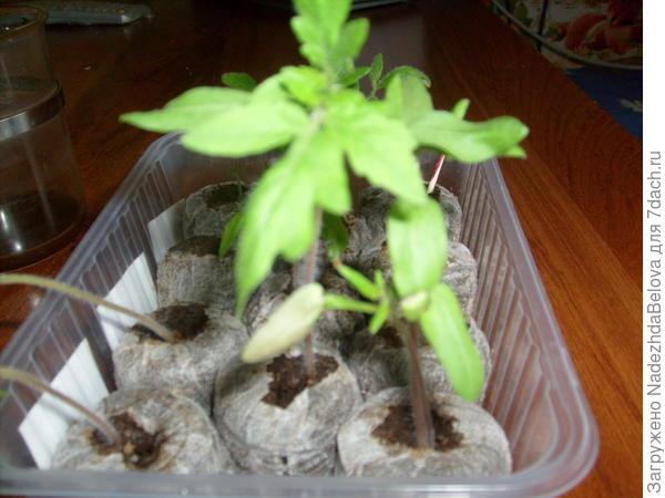 Три ростка растут пока в торфяных таблетках