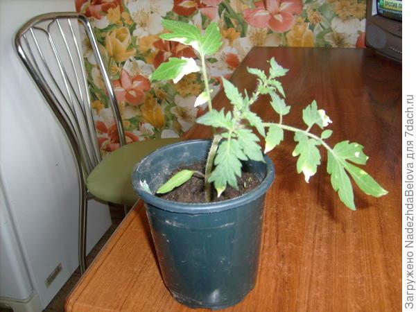 """Томат """"Сахарный бизон"""", видны повреждения листьев из-за полива """"Коренастым"""", но новые листья развиваются хорошо."""