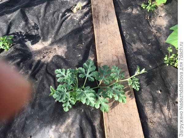26 июня, арбузики веселые в теплице, но растут очень медленно