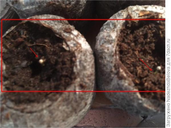 рис7 В таблетках Джиффи – появились  всходов пока не появилось и кокосовых – проросло одно семечко, вторая гранула пока не проросла