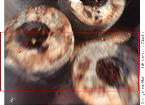 В кокосовых – проросли оба семечка