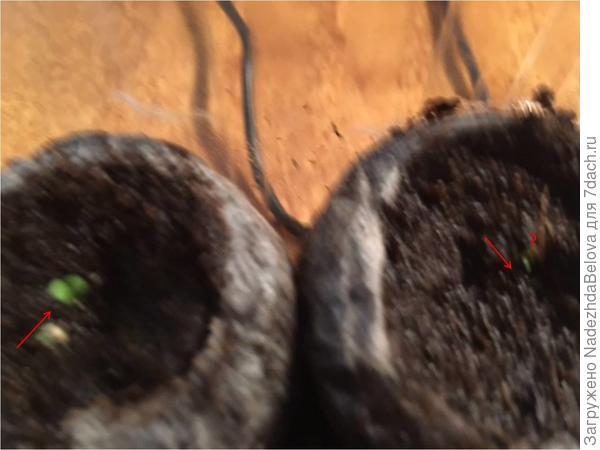 В таблетках Джиффи – появились  всходов пока не появилось и кокосовых – проросло одно семечко, вторая гранула пока не проросла