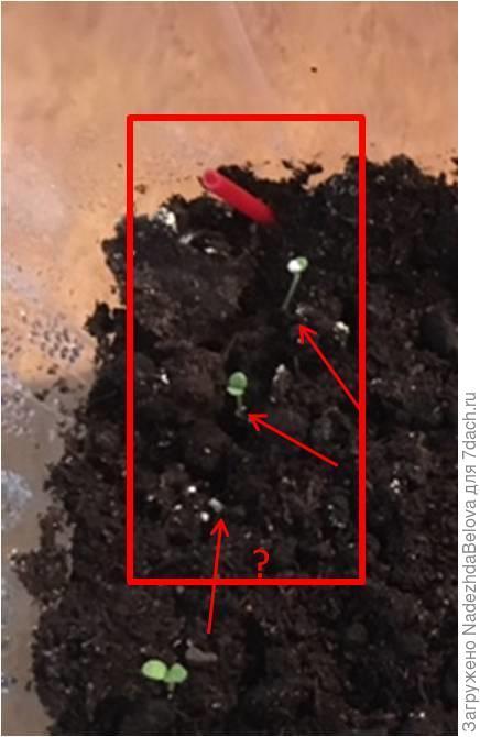 В общей емкости - два ростка